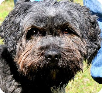 "Schnauzer (Miniature)/Poodle (Miniature) Mix Dog for adoption in Wakefield, Rhode Island - SKIPPER(OUR ADORABLE ""SNOODLE"""