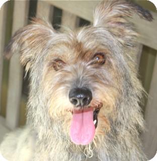 Cairn Terrier Mix Dog for adoption in Norwalk, Connecticut - Humphrey Bogart