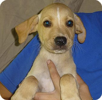 Labrador Retriever Mix Puppy for adoption in Oviedo, Florida - Camren