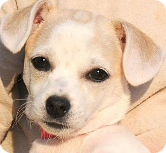 Chihuahua/Dachshund Mix Puppy for adoption in Wakefield, Rhode Island - BAYLEE(ADORABLE TINY PUPPY!!