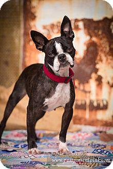 Boston Terrier Dog for adoption in Greensboro, North Carolina - Hailey