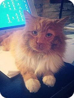 Maine Coon Cat for adoption in Chicago, Illinois - Theo
