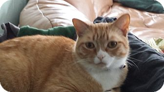Domestic Shorthair Cat for adoption in Sheboygan, Wisconsin - Clyde
