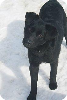 Fox Terrier (Smooth)/Australian Shepherd Mix Puppy for adoption in Glenwood, Minnesota - Barbados