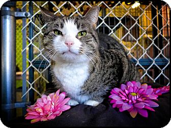 Domestic Shorthair Cat for adoption in Freeport, New York - Charlotte