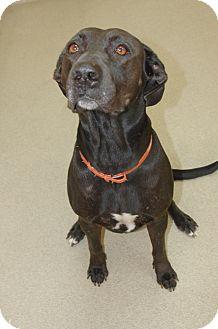 Labrador Retriever Mix Dog for adoption in Bucyrus, Ohio - Awesome-Nessie