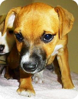 Jack Russell Terrier/Collie Mix Puppy for adoption in Lincolnton, North Carolina - Runner