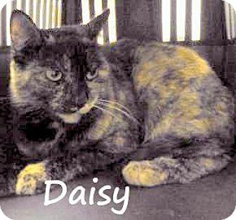 Domestic Shorthair Cat for adoption in Palm Coast, Florida - DAISY