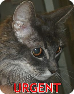 Maine Coon Cat for adoption in Oakland, California - Lucy-URGENT