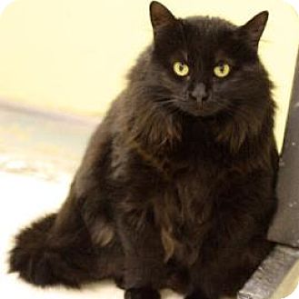Domestic Longhair Cat for adoption in Denver, Colorado - SweetPea