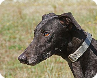Greyhound Dog for adoption in Portland, Oregon - Daisy
