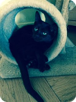 Bombay Kitten for adoption in Forest Hills, New York - Jazzy