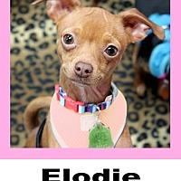 Adopt A Pet :: Elodie - Wichita Falls, TX