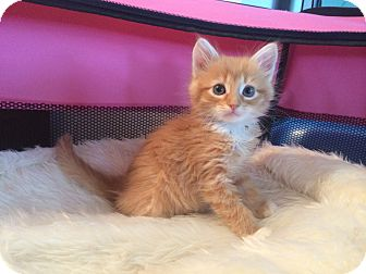 Maine Coon Kitten for adoption in Tampa, Florida - Harmony