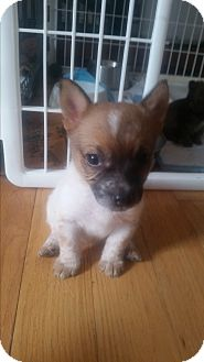 Pembroke Welsh Corgi/Australian Cattle Dog Mix Puppy for adoption in Loveland, Colorado - Jelly Belly