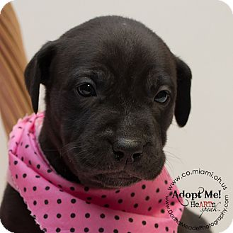 Pit Bull Terrier Mix Puppy for adoption in Troy, Ohio - Jackie O