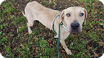 Retriever (Unknown Type)/Catahoula Leopard Dog Mix Dog for adoption in Okeechobee, Florida - Breezie