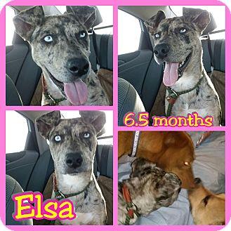 Catahoula Leopard Dog Mix Puppy for adoption in Mesa, Arizona - Elsa