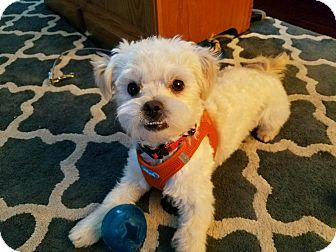 Maltese/Poodle (Miniature) Mix Dog for adoption in Lodi, California - Ernest
