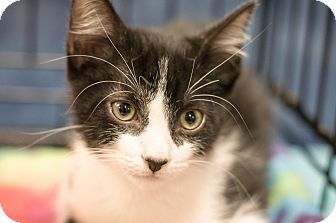 Domestic Shorthair Kitten for adoption in Gainesville, Florida - Astro