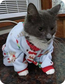 Tonkinese Kitten for adoption in Witter, Arkansas - Mischief (4-month girl)