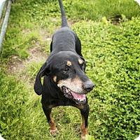 Black and Tan Coonhound Mix Dog for adoption in Medora, Indiana - BlackJack