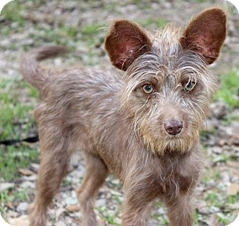 Cairn Terrier/Terrier (Unknown Type, Small) Mix Dog for adoption in Jacksonville, Florida - TOMI