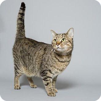 Domestic Shorthair Cat for adoption in Decatur, Georgia - Cat Damon
