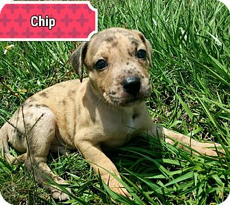 Labrador Retriever/Hound (Unknown Type) Mix Puppy for adoption in Ft. Myers, Florida - Chip