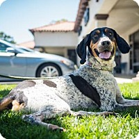 Adopt A Pet :: Guiness - Claremont - Chino Hills, CA