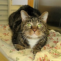 Domestic Shorthair Cat for adoption in Indiana, Pennsylvania - Geno
