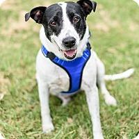 Adopt A Pet :: Annie - Flower Mound, TX