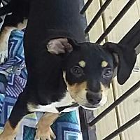 Adopt A Pet :: Puddles - Mesa, AZ