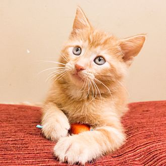 Domestic Shorthair Kitten for adoption in Chicago, Illinois - Dashi