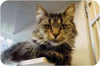 Domestic Mediumhair Cat for adoption in Walker, Michigan - Violet