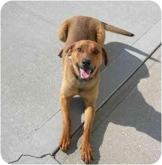 Hound (Unknown Type) Mix Dog for adoption in HARRISONVILLE, Missouri - Marty