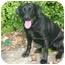 Photo 2 - Labrador Retriever Dog for adoption in Muldrow, Oklahoma - HERSHEY