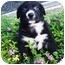Photo 4 - Border Collie/Newfoundland Mix Puppy for adoption in Santa ana, California - PIXIE