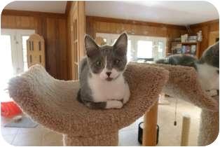 Domestic Shorthair Kitten for adoption in Tustin, California - Haley