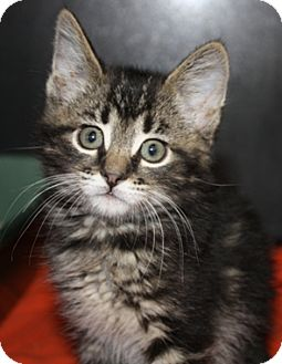 Domestic Mediumhair Kitten for adoption in North Highlands, California - Apache