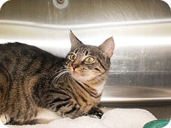 Domestic Shorthair Cat for adoption in Saint Albans, Vermont - Faith