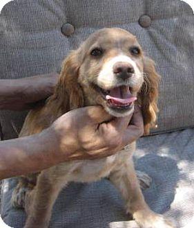 Cocker Spaniel/Dachshund Mix Puppy for adoption in Chandler, Arizona - JR