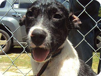 Beagle/Labrador Retriever Mix Puppy for adoption in Daisy, Georgia - Bronco
