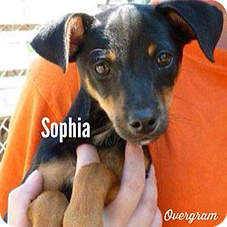 Miniature Pinscher Mix Puppy for adoption in Shirley, New York - Sophia