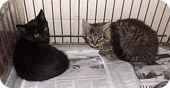 Domestic Shorthair Kitten for adoption in Henderson, North Carolina - Bing and GO