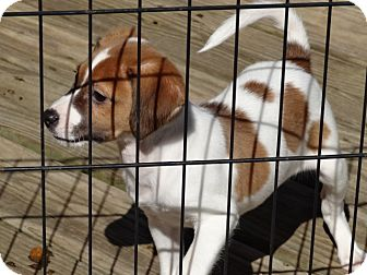 Chihuahua/Beagle Mix Puppy for adoption in Syacuse, New York - Frankie