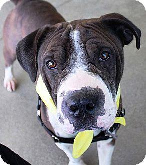 Shar Pei/American Pit Bull Terrier Mix Dog for adoption in Berkeley, California - Sea Shell