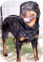 Rottweiler Dog for adoption in Folsom, Louisiana - Titan