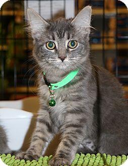 Domestic Mediumhair Kitten for adoption in Plano, Texas - KIA - PLAYFUL BABY GIRL!!!
