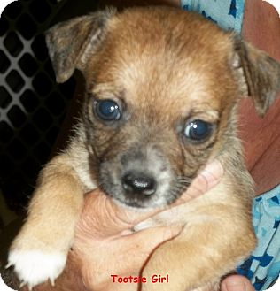 Terrier (Unknown Type, Small) Mix Puppy for adoption in Homer, New York - Tootsie